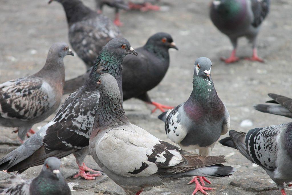 Control de aves urbanas en Mallorca para evitar enfermedades